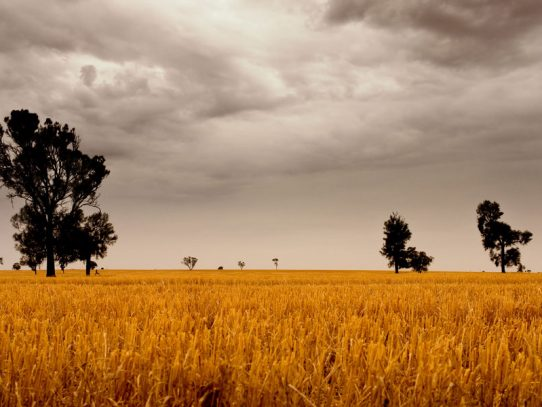 Bowen growers count the costs of Cyclone Debbie