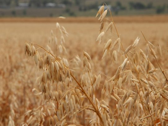 Dry summer puts forage oats on the menu