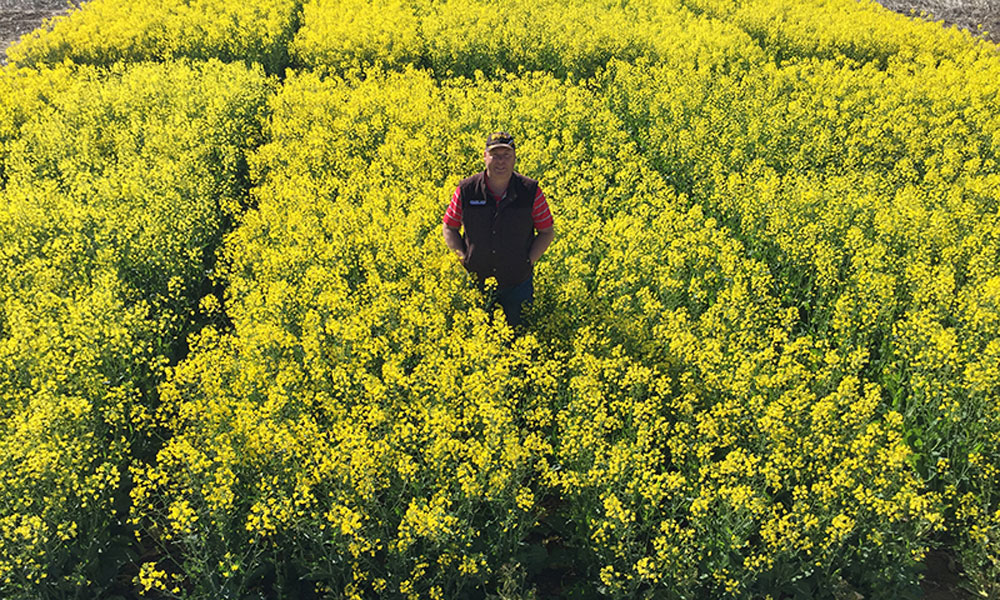 Hybrid TT canola offers greater value to growers