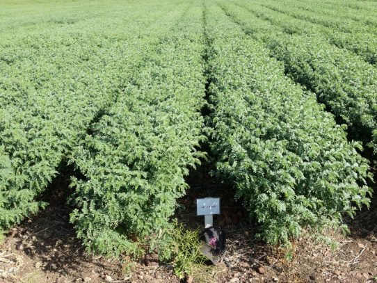 New era for Central Queensland chickpea production
