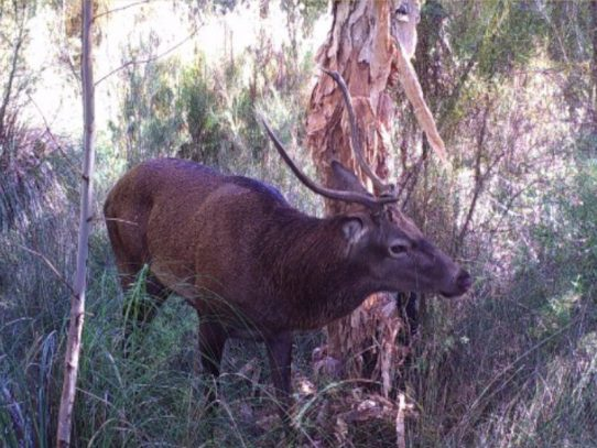 Australia's largest research collaboration established to tackle feral deer