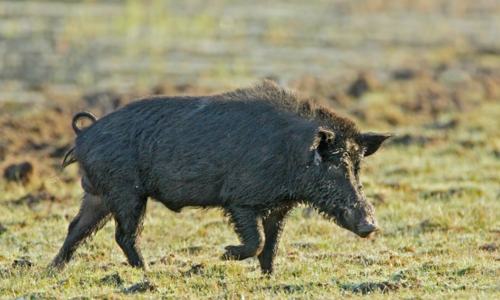 CISS welcomes the growing call for strategic feral pig management across Australia
