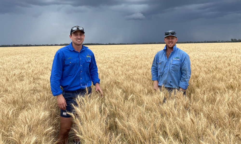 Growers jump on promising outlook for wheat