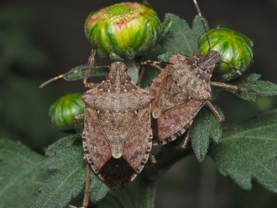 New important conditions for Brown Marmorated Stinkbug season